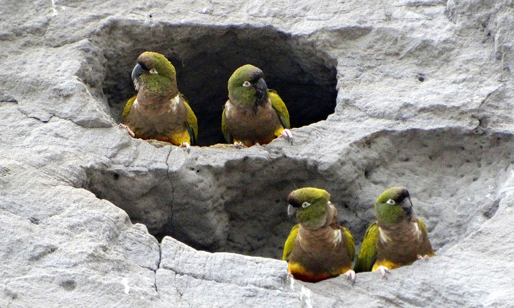 A Föld legnagyobb papagájkolóniája