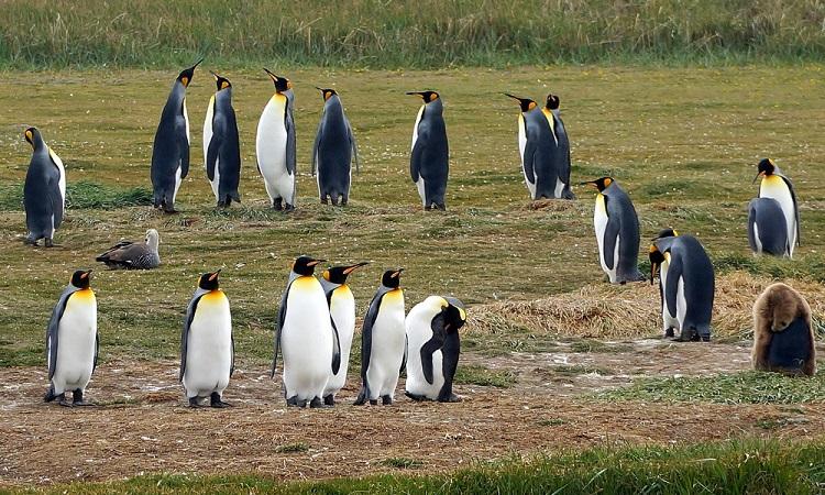 A tűzföldi királypingvinek