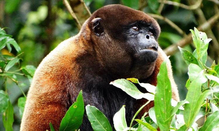 Perverz majom Amazóniában